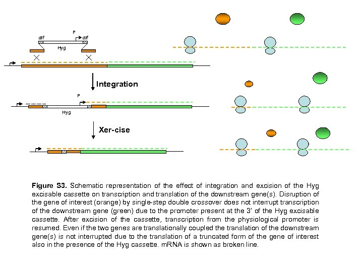 P dif Hyg Integration P Hyg Xer-cise Figure S 3. Schematic representation of the