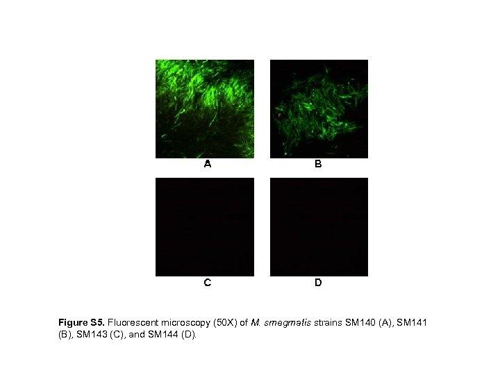 Figure S 5. Fluorescent microscopy (50 X) of M. smegmatis strains SM 140 (A),