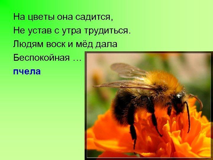 На цветы она садится, Не устав с утра трудиться. Людям воск и мёд дала