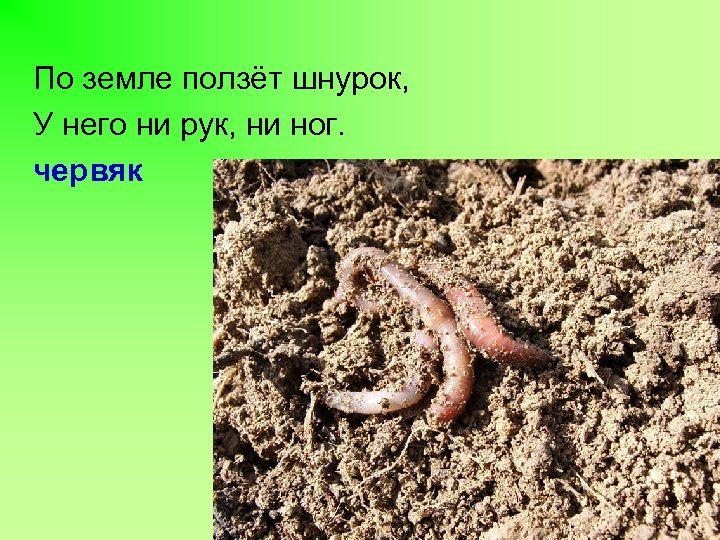 По земле ползёт шнурок, У него ни рук, ни ног. червяк