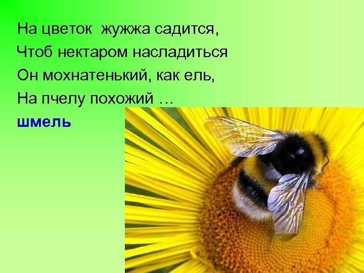 На цветок жужжа садится, Чтоб нектаром насладиться Он мохнатенький, как ель, На пчелу похожий