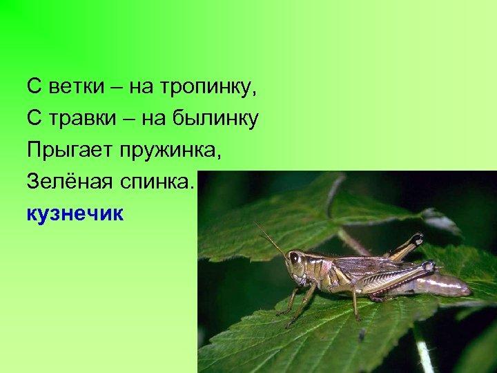 С ветки – на тропинку, С травки – на былинку Прыгает пружинка, Зелёная спинка.