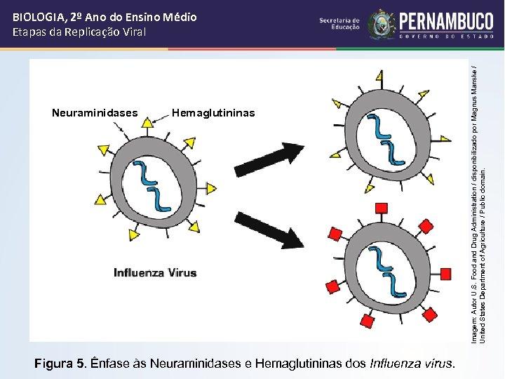Neuraminidases Hemaglutininas Figura 5. Ênfase às Neuraminidases e Hemaglutininas dos Influenza vírus. Imagem: Autor