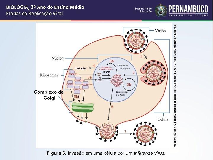 tradução RNAm Complexo de Golgi Figura 6. Invasão em uma célula por um Influenza