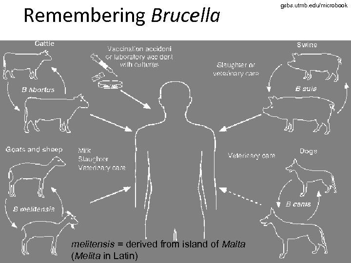 Remembering Brucella melitensis = derived from island of Malta (Melita in Latin) gsbs. utmb.