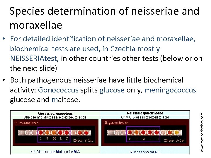 Species determination of neisseriae and moraxellae www. ratsteachmicro. com • For detailed identification of