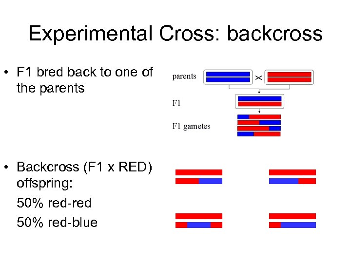 Experimental Cross: backcross • F 1 bred back to one of the parents •