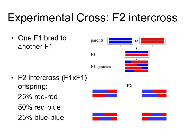 Experimental Cross: F 2 intercross • One F 1 bred to another F 1