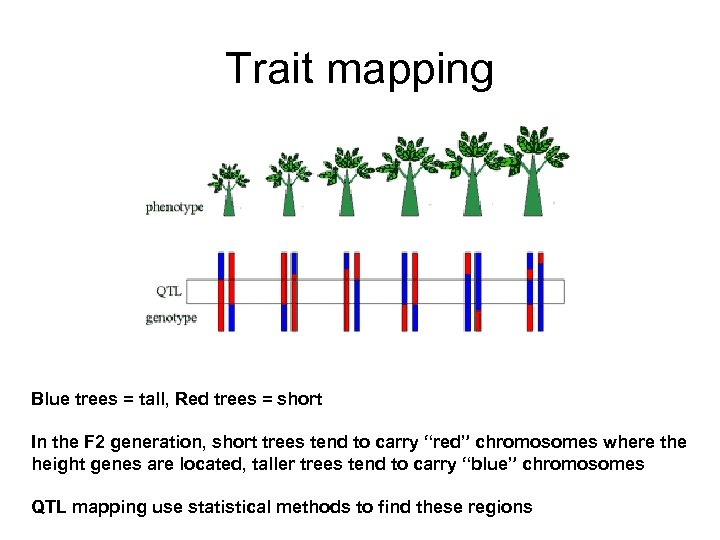Trait mapping Blue trees = tall, Red trees = short In the F 2
