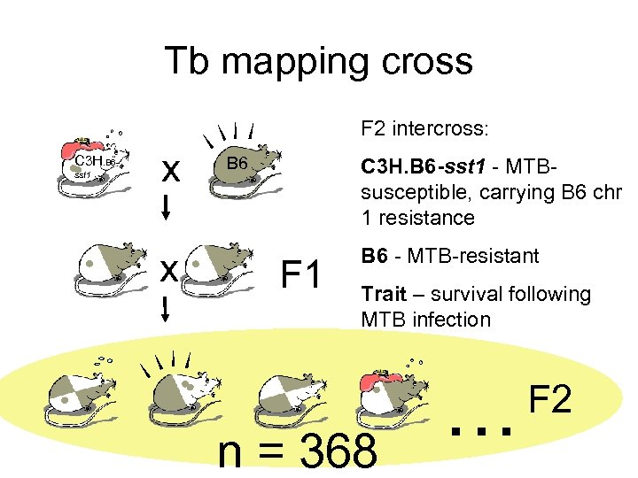 Tb mapping cross F 2 intercross: C 3 H. B 6 sst 1 x