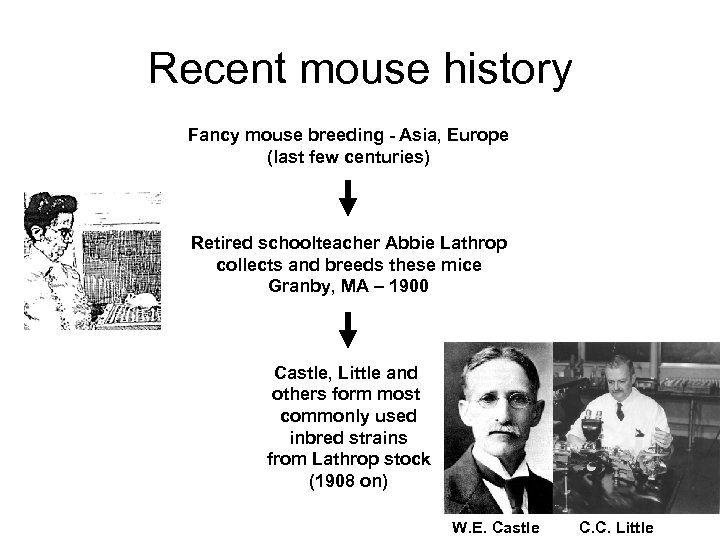 Recent mouse history Fancy mouse breeding - Asia, Europe (last few centuries) Retired schoolteacher