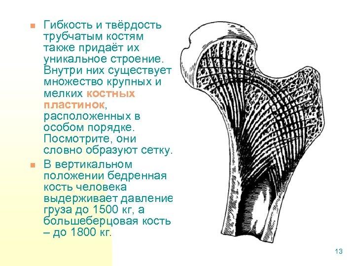 n n Гибкость и твёрдость трубчатым костям также придаёт их уникальное строение. Внутри них