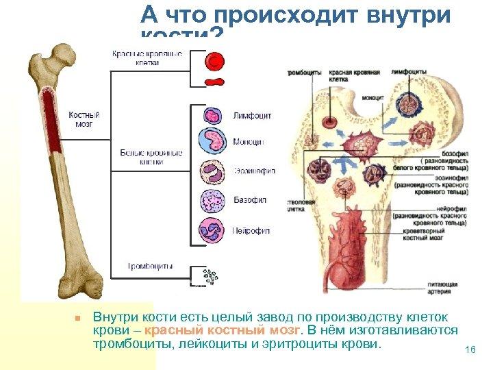 А что происходит внутри кости? n Внутри кости есть целый завод по производству клеток