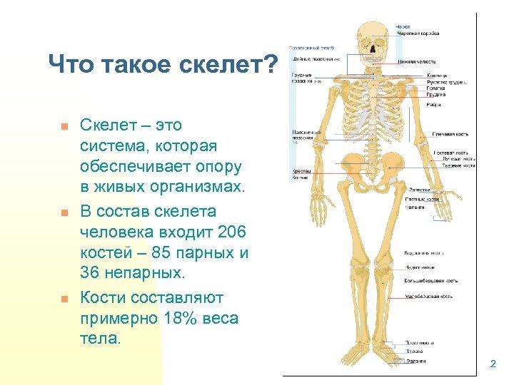 Что такое скелет? n n n Скелет – это система, которая обеспечивает опору в