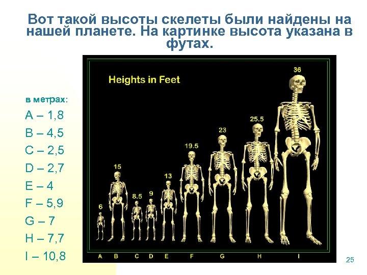 Вот такой высоты скелеты были найдены на нашей планете. На картинке высота указана в