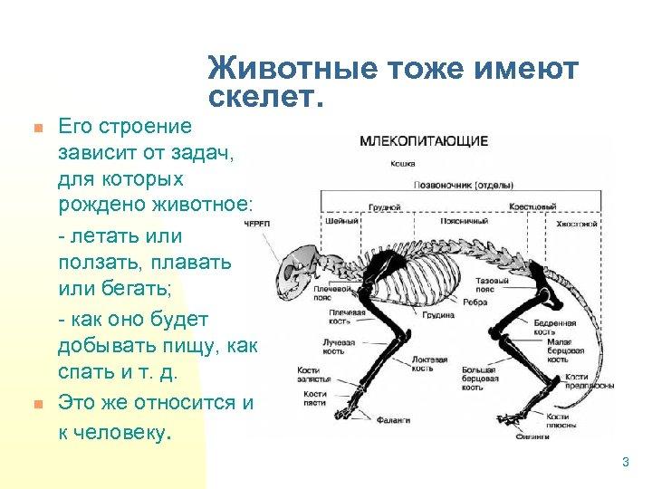 Животные тоже имеют скелет. n n Его строение зависит от задач, для которых рождено