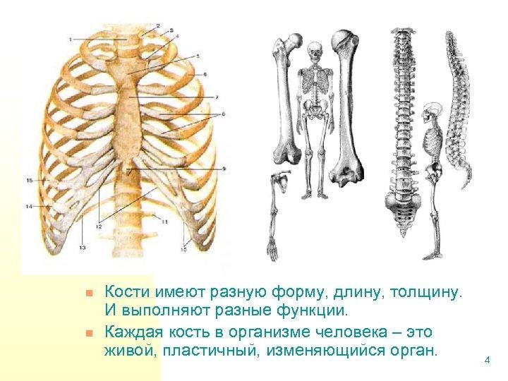 n n Кости имеют разную форму, длину, толщину. И выполняют разные функции. Каждая кость