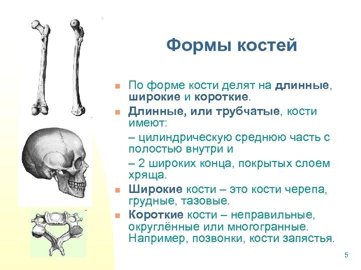 Формы костей n n По форме кости делят на длинные, широкие и короткие. Длинные,