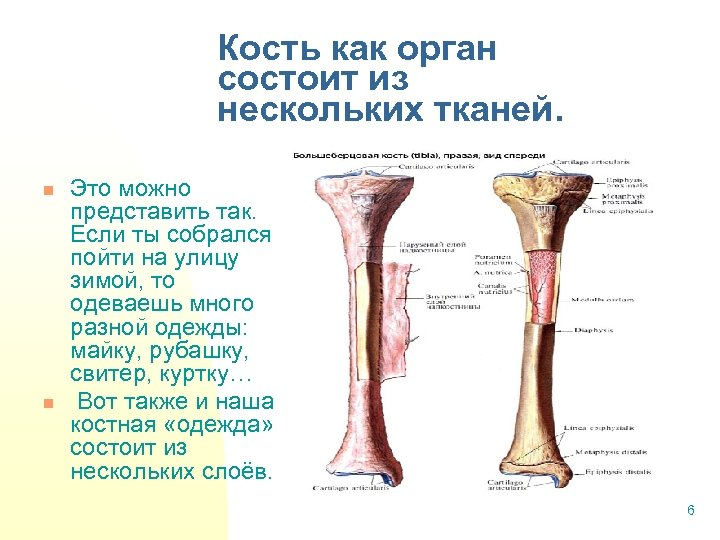 Кость как орган состоит из нескольких тканей. n n Это можно представить так. Если