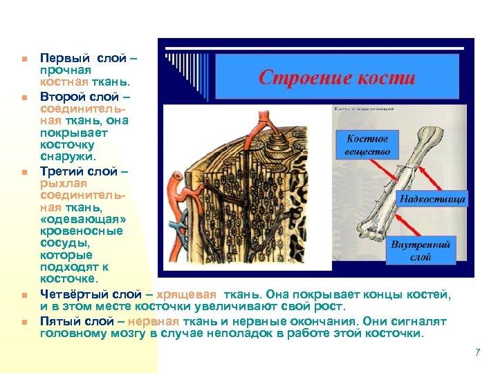 n n n Первый слой – прочная костная ткань. Второй слой – соединительная ткань,