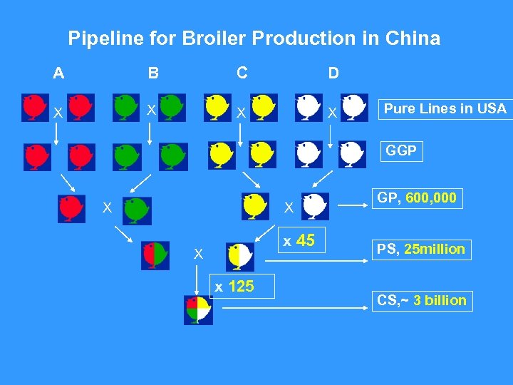 Pipeline for Broiler Production in China A B C D X X Pure Lines