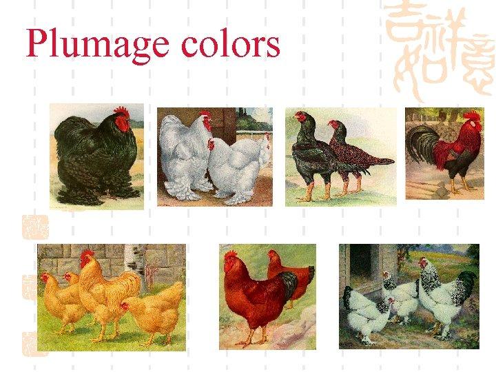 Plumage colors