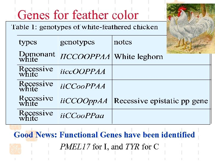 Genes for feather color Good News: Functional Genes have been identified PMEL 17 for