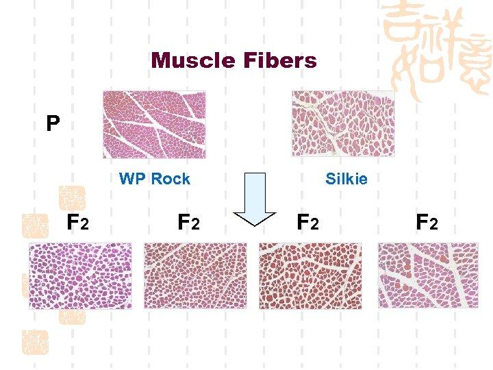 Muscle Fibers P WP Rock F 2 Silkie F 2