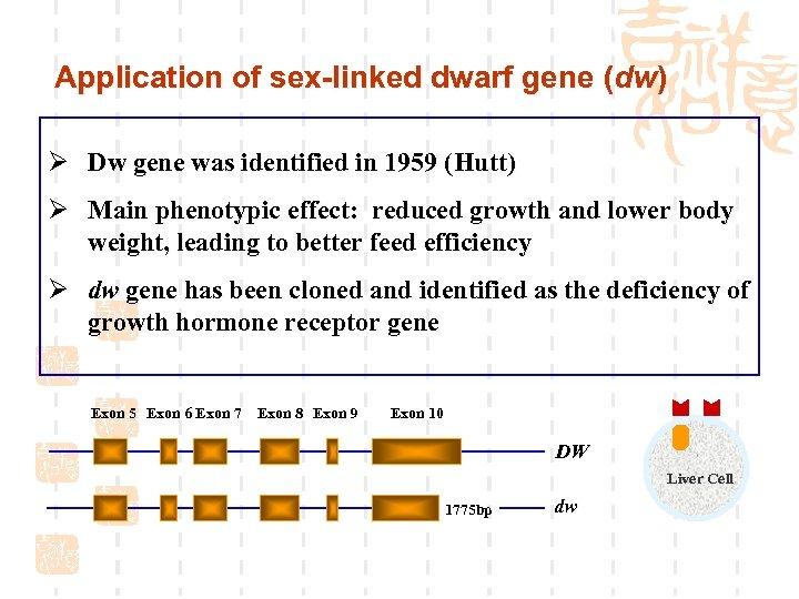 Application of sex-linked dwarf gene (dw) Ø Dw gene was identified in 1959 (Hutt)