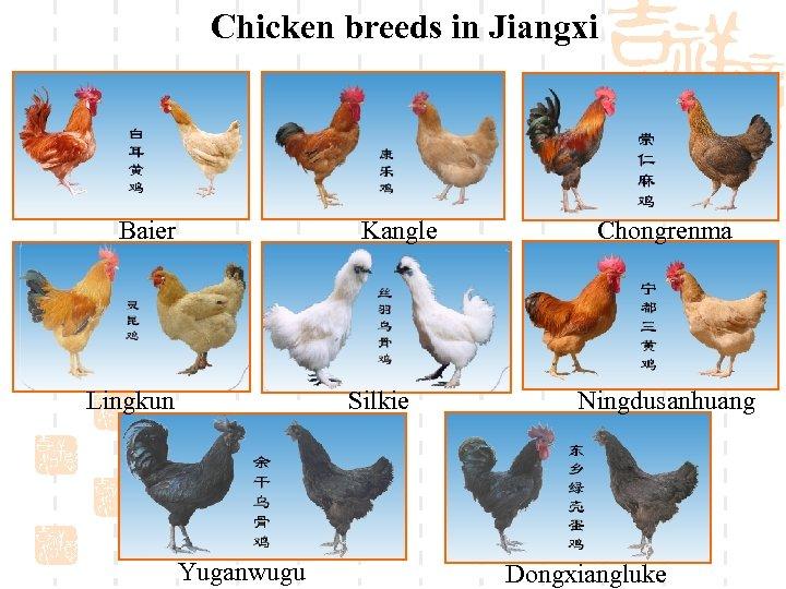 Chicken breeds in Jiangxi Baier Kangle Lingkun Silkie Yuganwugu Chongrenma Ningdusanhuang Dongxiangluke