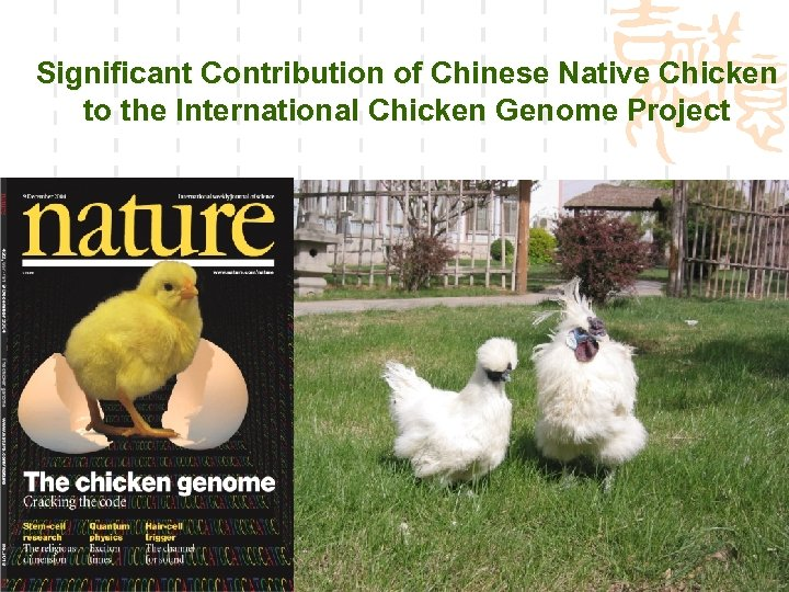 Significant Contribution of Chinese Native Chicken to the International Chicken Genome Project