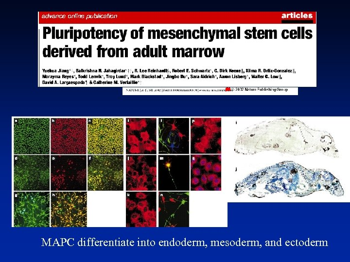 MAPC differentiate into endoderm, mesoderm, and ectoderm