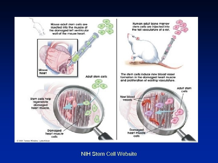 NIH Stem Cell Website