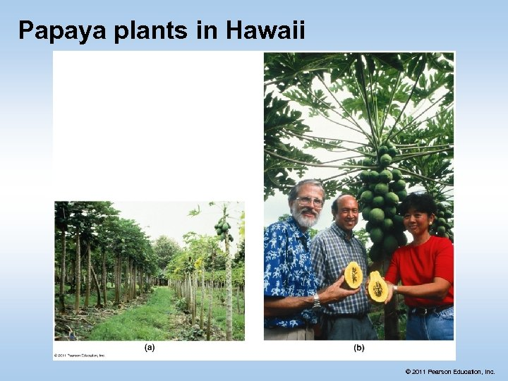 Papaya plants in Hawaii © 2011 Pearson Education, Inc.