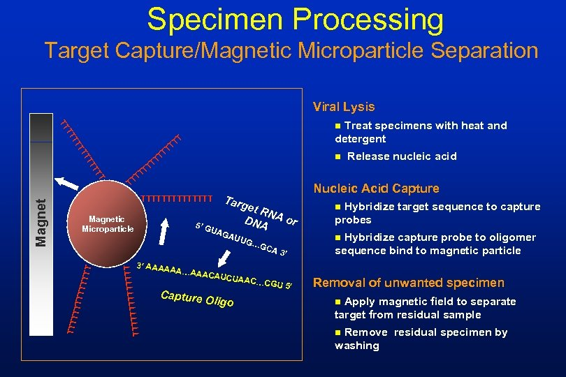 Specimen Processing Target Capture/Magnetic Microparticle Separation Viral Lysis Treat specimens with heat and detergent
