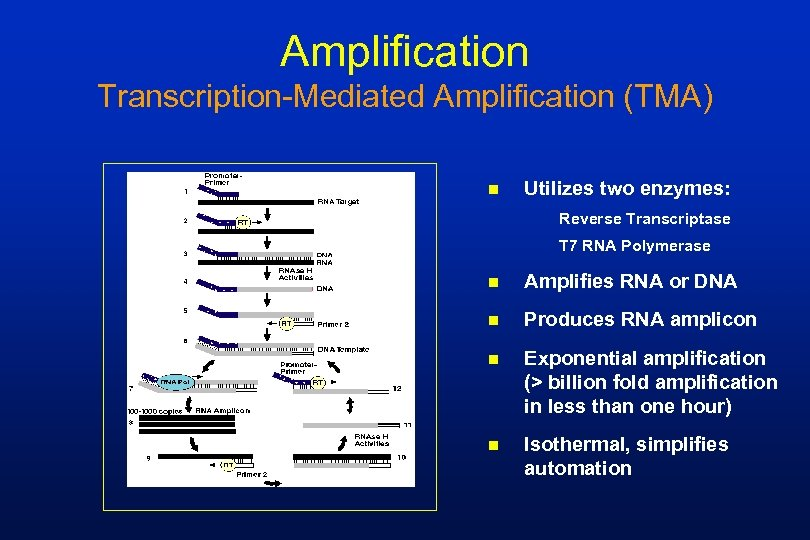 Amplification Transcription-Mediated Amplification (TMA) n Utilizes two enzymes: Reverse Transcriptase T 7 RNA Polymerase