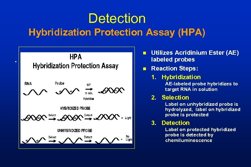 Detection Hybridization Protection Assay (HPA) n n Utilizes Acridinium Ester (AE) labeled probes Reaction