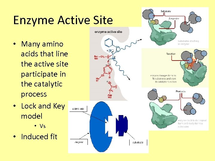 Enzyme Active Site • Many amino acids that line the active site participate in