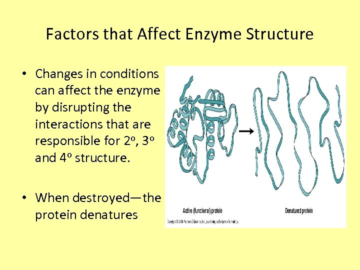 Factors that Affect Enzyme Structure • Changes in conditions can affect the enzyme by