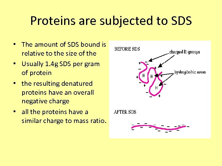 Proteins are subjected to SDS • The amount of SDS bound is relative to