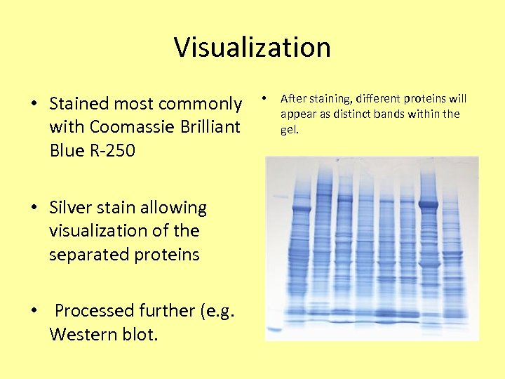 Visualization • Stained most commonly with Coomassie Brilliant Blue R-250 • Silver stain allowing