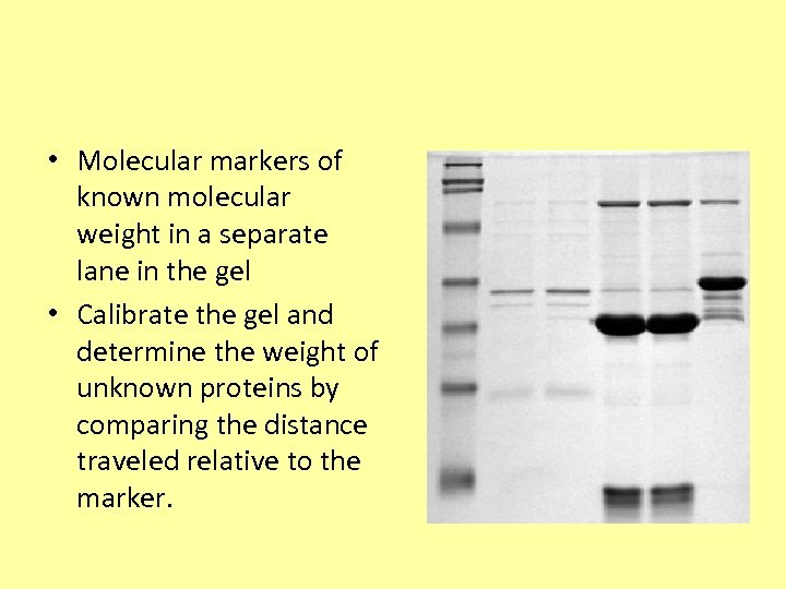• Molecular markers of known molecular weight in a separate lane in the