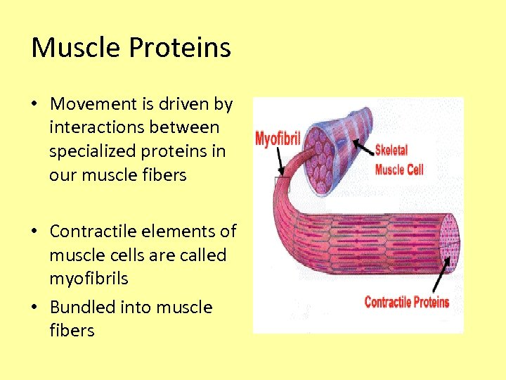 Muscle Proteins • Movement is driven by interactions between specialized proteins in our muscle