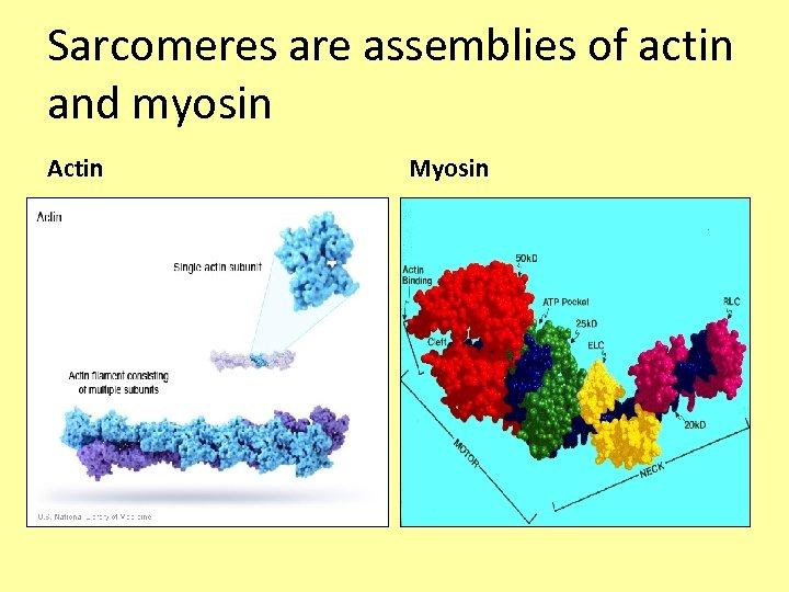 Sarcomeres are assemblies of actin and myosin Actin Myosin