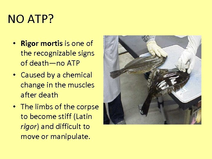 NO ATP? • Rigor mortis is one of the recognizable signs of death—no ATP