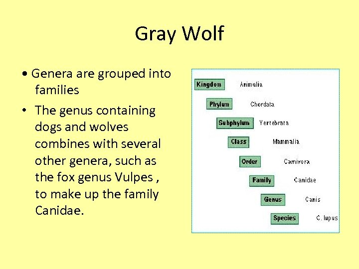 Gray Wolf • Genera are grouped into families • The genus containing dogs and