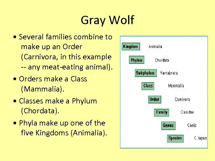 Gray Wolf • Several families combine to make up an Order (Carnivora, in this