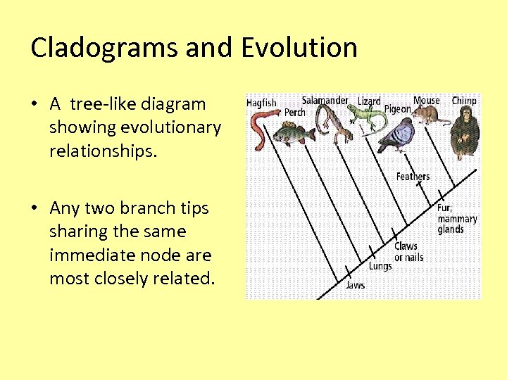 Cladograms and Evolution • A tree-like diagram showing evolutionary relationships. • Any two branch