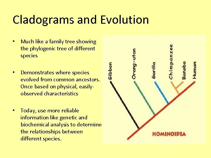 Cladograms and Evolution • Much like a family tree showing the phylogenic tree of
