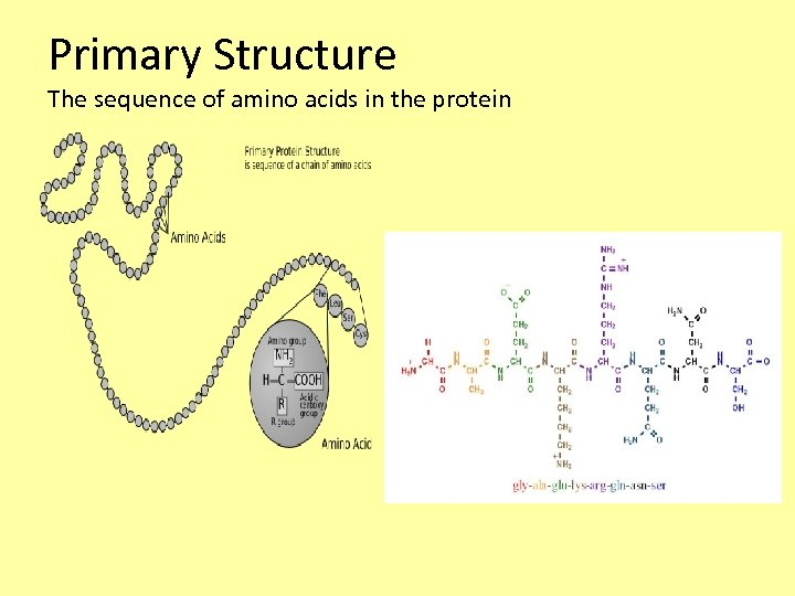 Primary Structure The sequence of amino acids in the protein